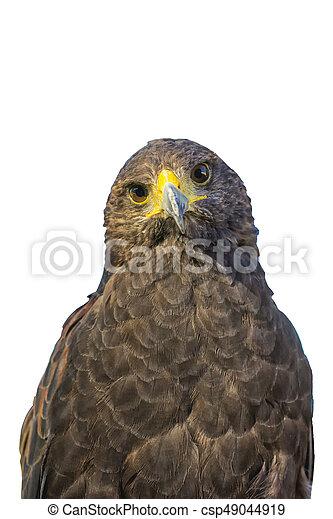 Portrait of golden eagle (Aquila chrysaetos) on a white background - csp49044919