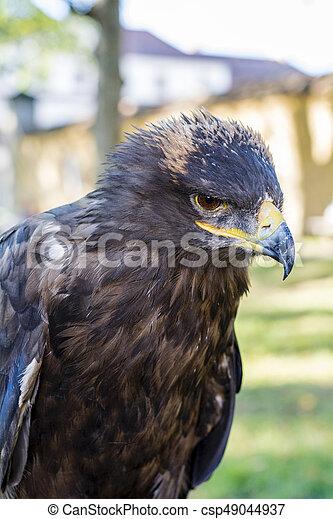Portrait of golden eagle (Aquila chrysaetos) - csp49044937
