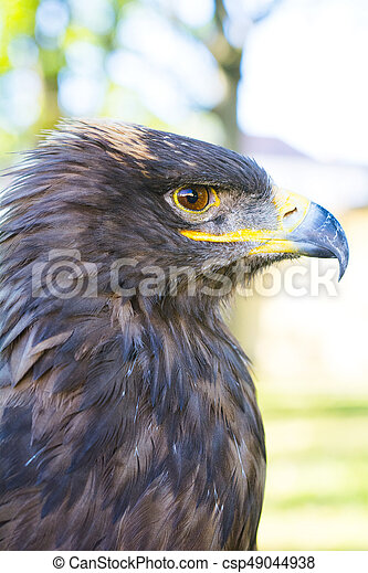Portrait of golden eagle (Aquila chrysaetos) - csp49044938