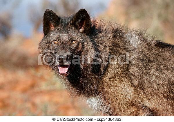 Portrait of Gray wolf - csp34364363