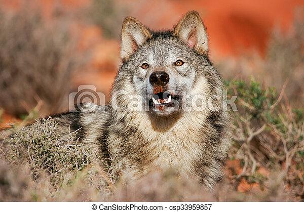 Portrait of Gray wolf - csp33959857