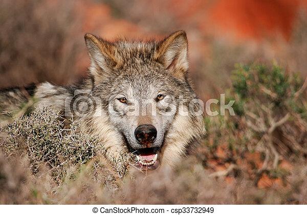 Portrait of Gray wolf - csp33732949