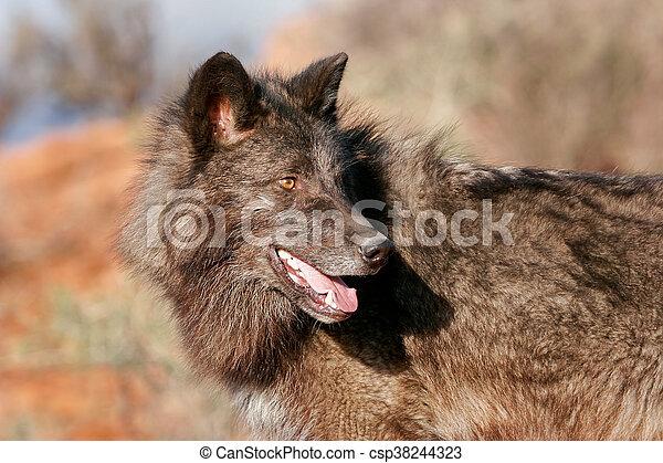 Portrait of Gray wolf - csp38244323