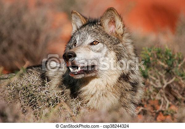 Portrait of Gray wolf - csp38244324