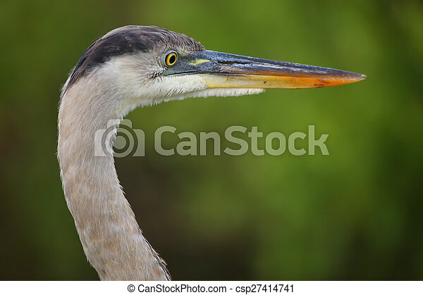 Portrait of Great Blue Heron. It is the largest North American heron. - csp27414741
