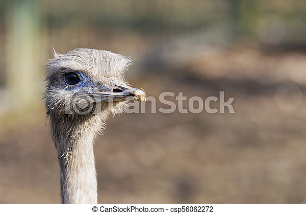 Portrait of greater rhea (Rhea americana) - csp56062272