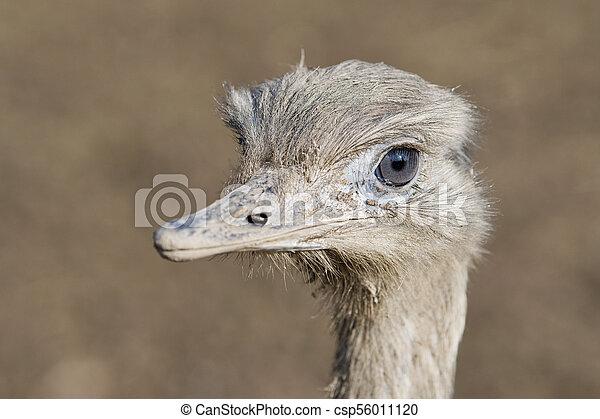 Portrait of greater rhea (Rhea americana) - csp56011120