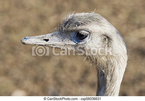Portrait of greater rhea (Rhea americana) - csp56036631