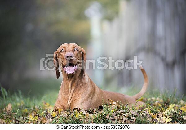 Portrait of hungarian hound dog in autumn - csp53572076