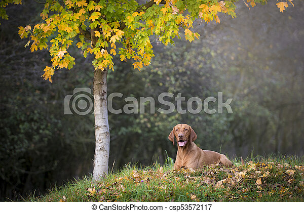 Portrait of hungarian hound dog in autumn - csp53572117