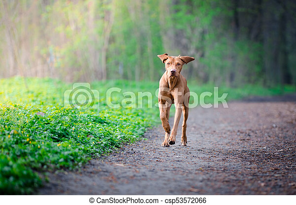 Portrait of hungarian hound dog in spring time - csp53572066