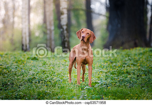 Portrait of hungarian hound dog in spring time - csp53571958