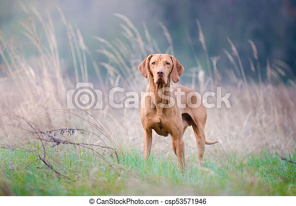Portrait of hungarian hound dog in spring time - csp53571946