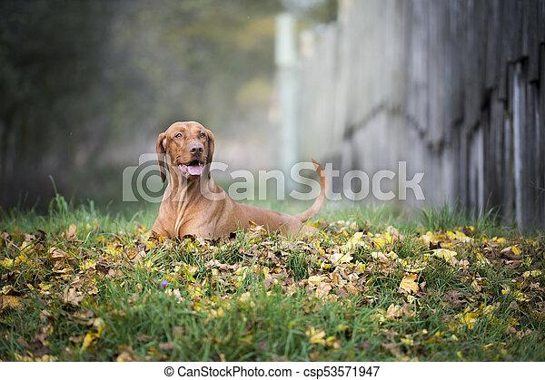 Portrait of hungarian hound dog in autumn - csp53571947