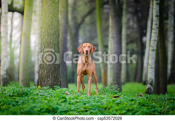 Portrait of hungarian hound dog in spring time - csp53572026