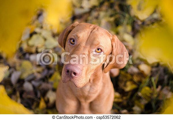 portrait of hungarian hound pointer vizsla dog in autumn time - csp53572062