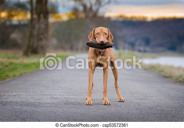 portrait of hungarian hound pointer vizsla dog in autumn time - csp53572361