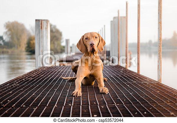 portrait of hungarian hound pointer vizsla dog in autumn time - csp53572044