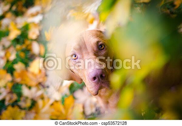 portrait of hungarian hound pointer vizsla dog in autumn time - csp53572128