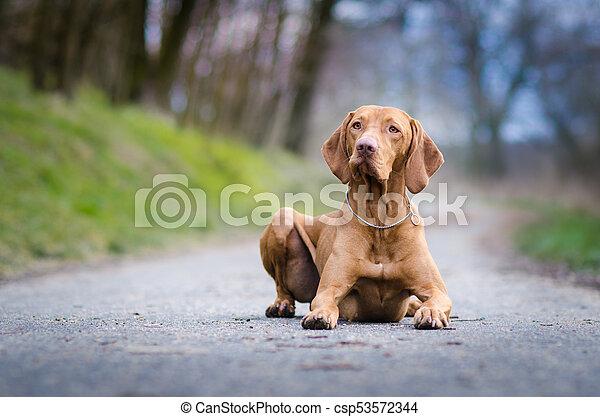 portrait of hungarian hound pointer vizsla dog in autumn time - csp53572344