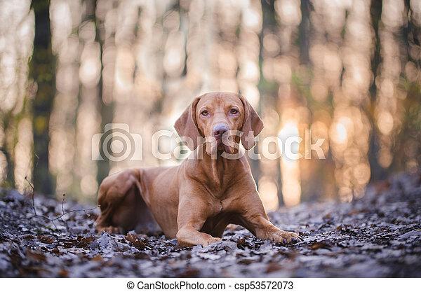 Portrait of hungarian vizsla hunter dog in spring - csp53572073