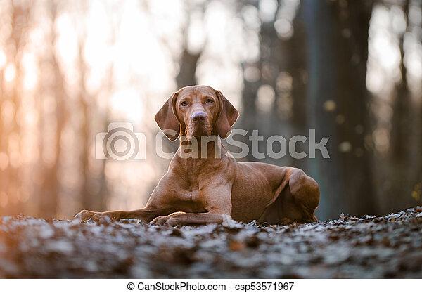 Portrait of hungarian vizsla hunter dog in spring - csp53571967