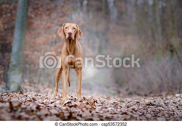 Portrait of hungarian vizsla hunter dog in autumn - csp53572352