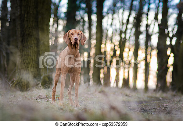 Portrait of hungarian vizsla hunter dog in autumn - csp53572353