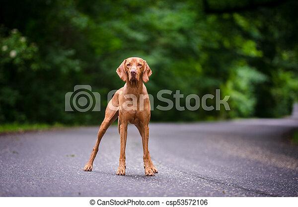Portrait of hungarian vizsla hunter dog - csp53572106