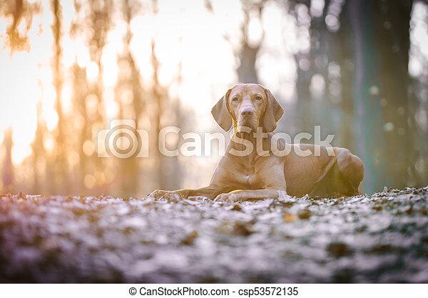 Portrait of hungarian vizsla hunter dog in spring - csp53572135