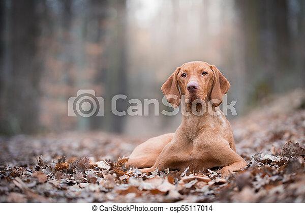 Portrait of hungarian vizsla pointer dog in autumn - csp55117014