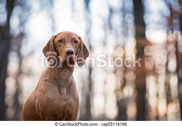 Portrait of hungarian vizsla pointer dog in evening sunset - csp55116166