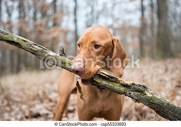 Portrait of hungarian vizsla pointer dog with big branch - csp55333693