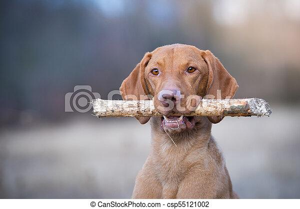 Portrait of hungarian vizsla pointer dog in evening sunset - csp55121002