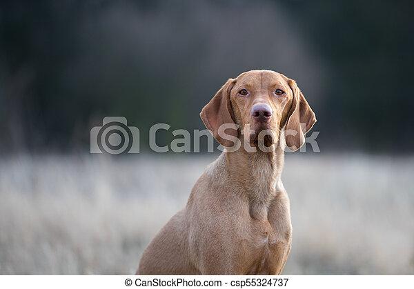 Portrait of hungarian vizsla pointer dog in evening sunset - csp55324737