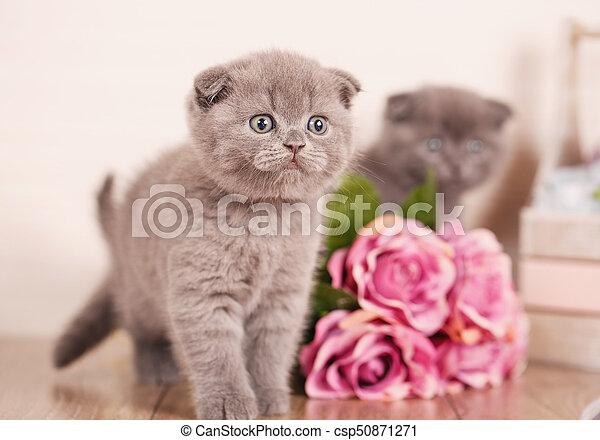 Portrait of Interesting Scottish kitten - csp50871271