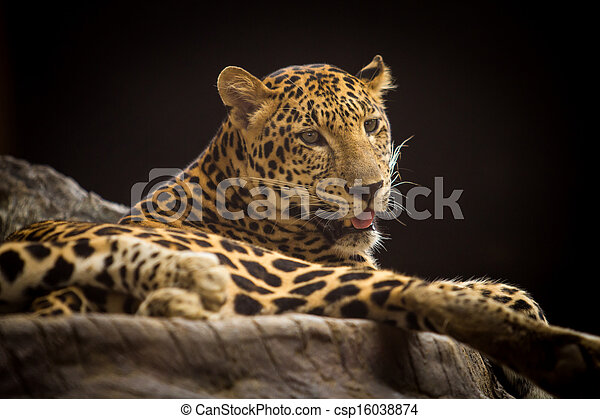 Portrait of leopard - csp16038874