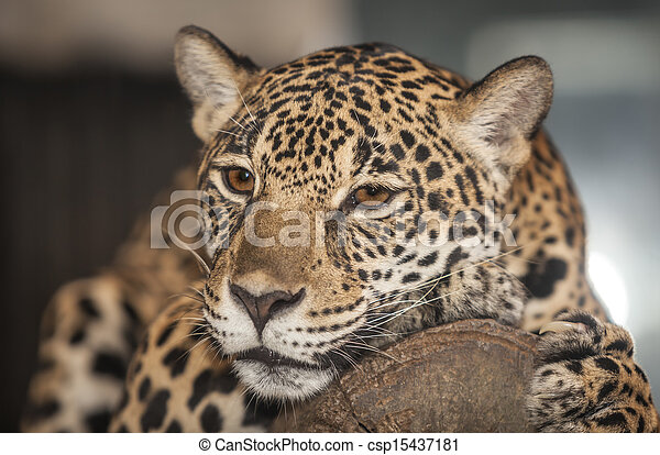Portrait of leopard - csp15437181