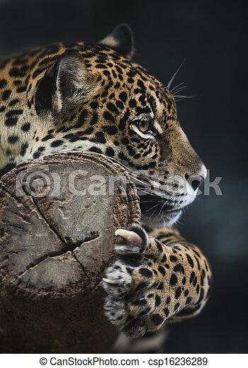 Portrait of leopard - csp16236289