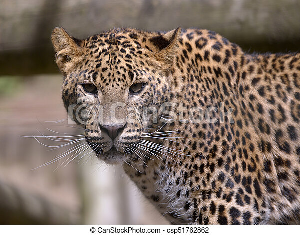 Portrait of Leopard - csp51762862