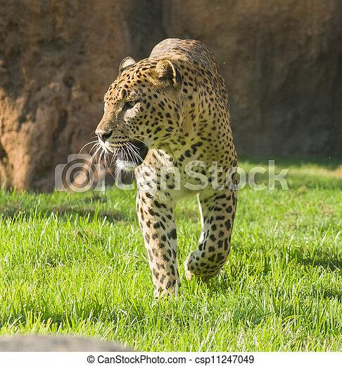 Portrait Of Leopard - csp11247049