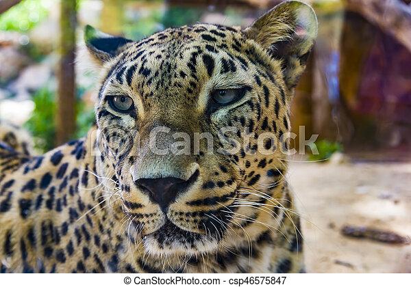 Portrait of Leopard - csp46575847