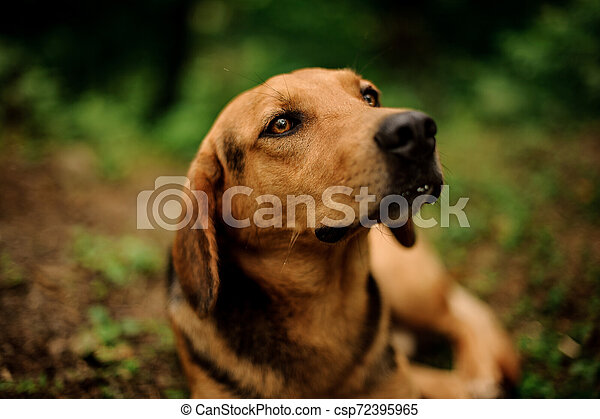 Portrait of lying brown dog in the forest - csp72395965