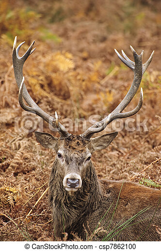 Portrait of majestic red deer stag in Autumn Fall - csp7862100
