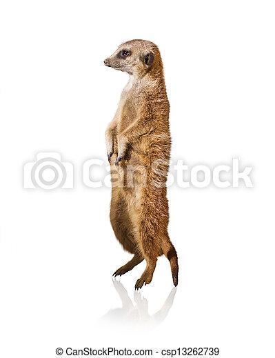 Portrait Of Meerkat - csp13262739