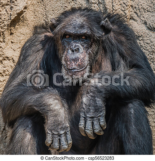 Portrait of old depressed Chimpanzee - csp56523283