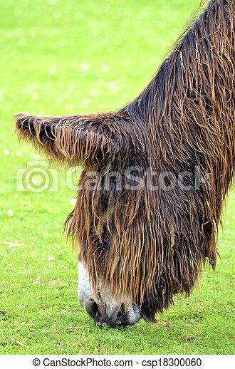 Portrait of Poitevin donkey - csp18300060