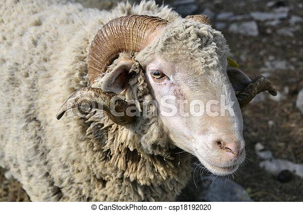 Portrait of ram - csp18192020