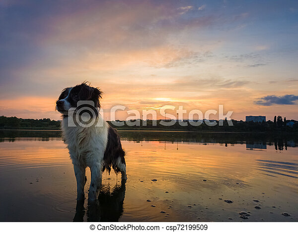 Portrait of serious and attentive border collie dog standing in a pond water over sunset background with reflection on the lake surface. Beautiful pet looking around posing to camera - csp72199509