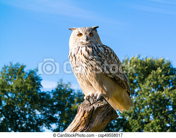 Portrait of Siberian eagle owl, Bubo Bubo sibiricus, perching on tree trunk - csp49558017